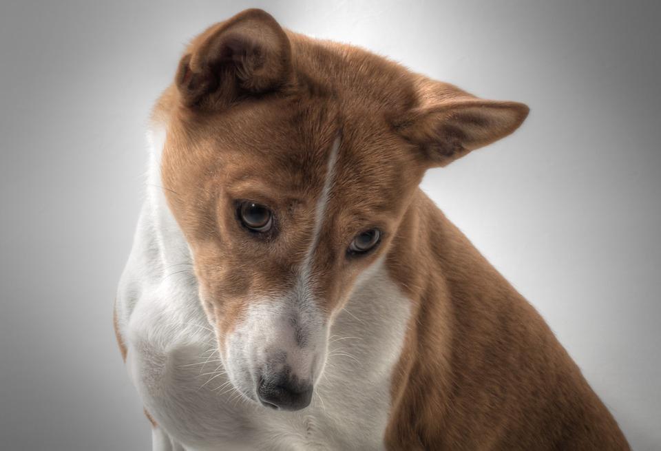basenji-dog-breed-temperament-price-breeders-puppy-sale