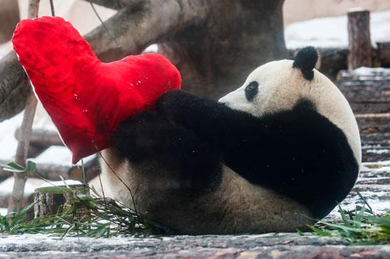 الباندا-بحديقة-حيوان-روسيا