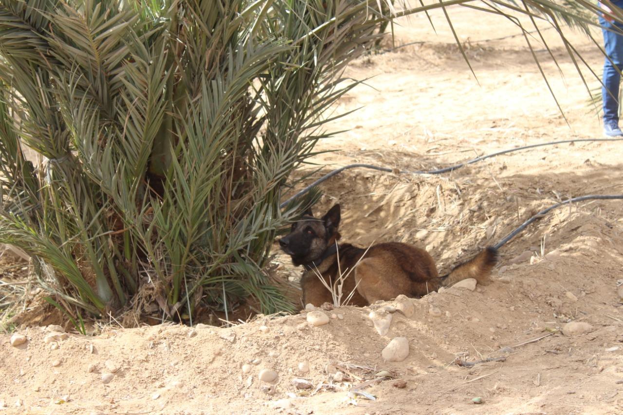 كلاب مدربة سوسة  النخيل  (2)