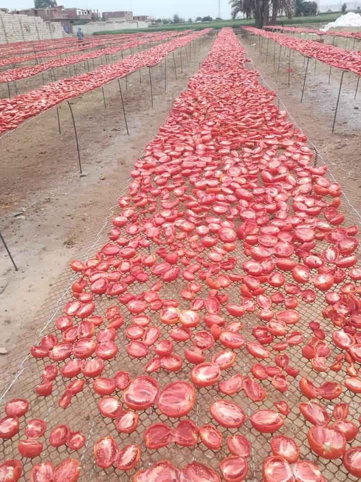 مشروع تجفيف الطماطم  (7)