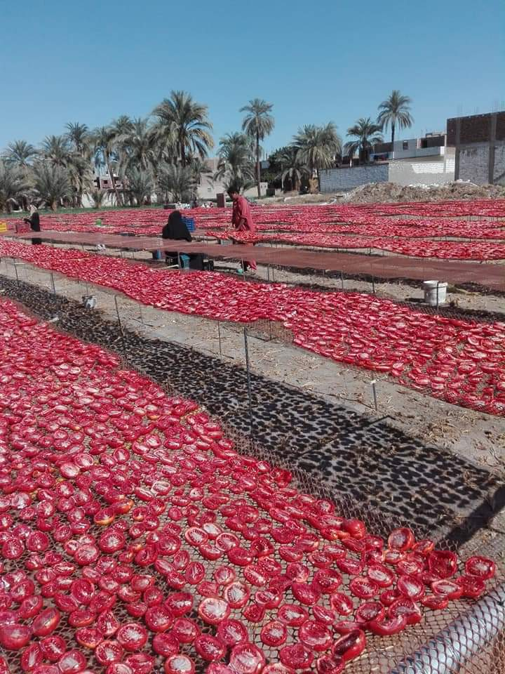 مشروع تجفيف الطماطم  (10)