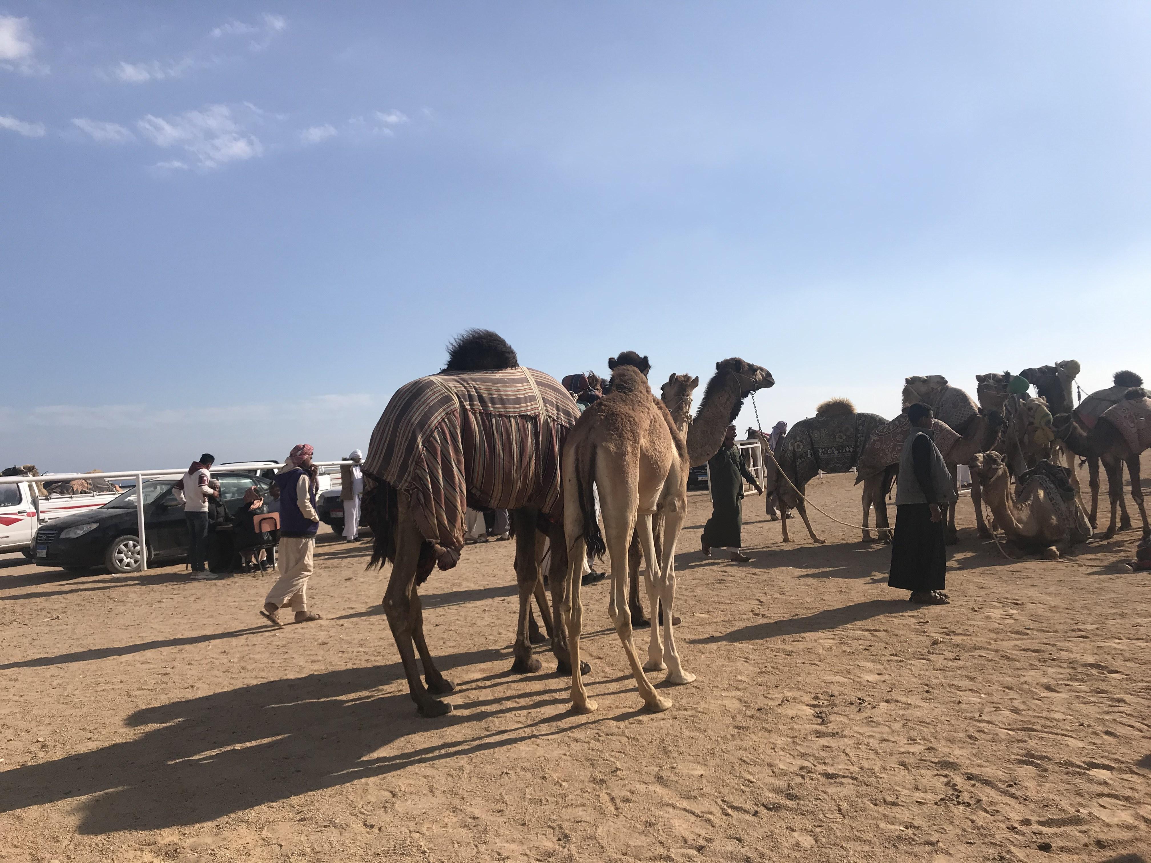 مهرجان الهجن بشرم الشيخ (3)