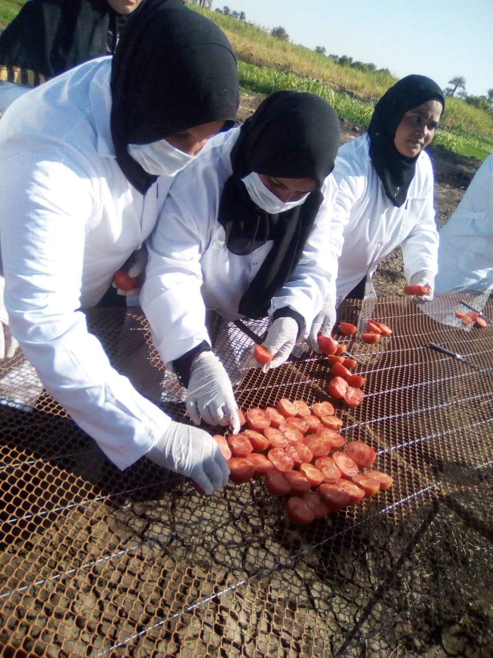 مشروع تجفيف الطماطم  (4)