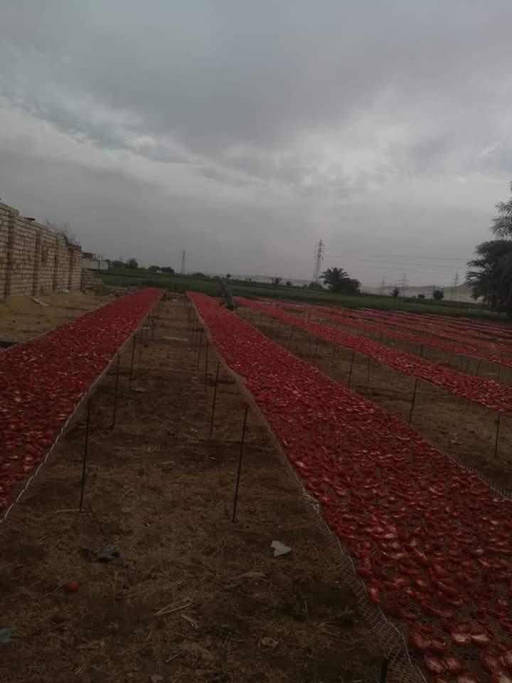 مشروع تجفيف الطماطم  (3)