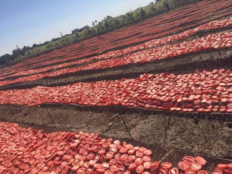 مشروع تجفيف الطماطم  (5)