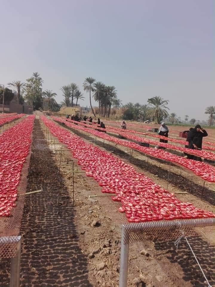 مشروع تجفيف الطماطم  (9)