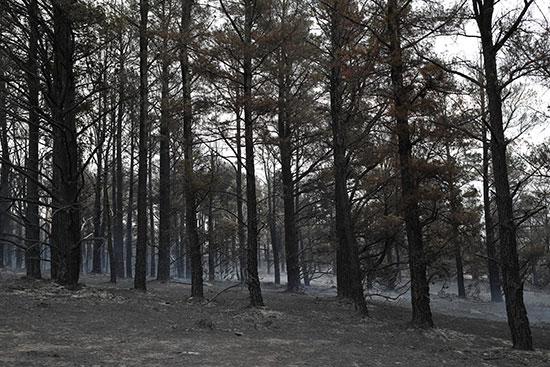 أشجار متفحمة