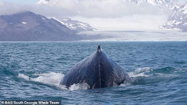 الحوت الأزرق فى المحيطات