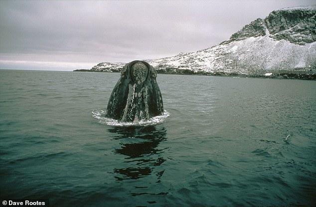 الحوت الأزرق الحيوان الضخم المهدد بالانقراض منذ عقود