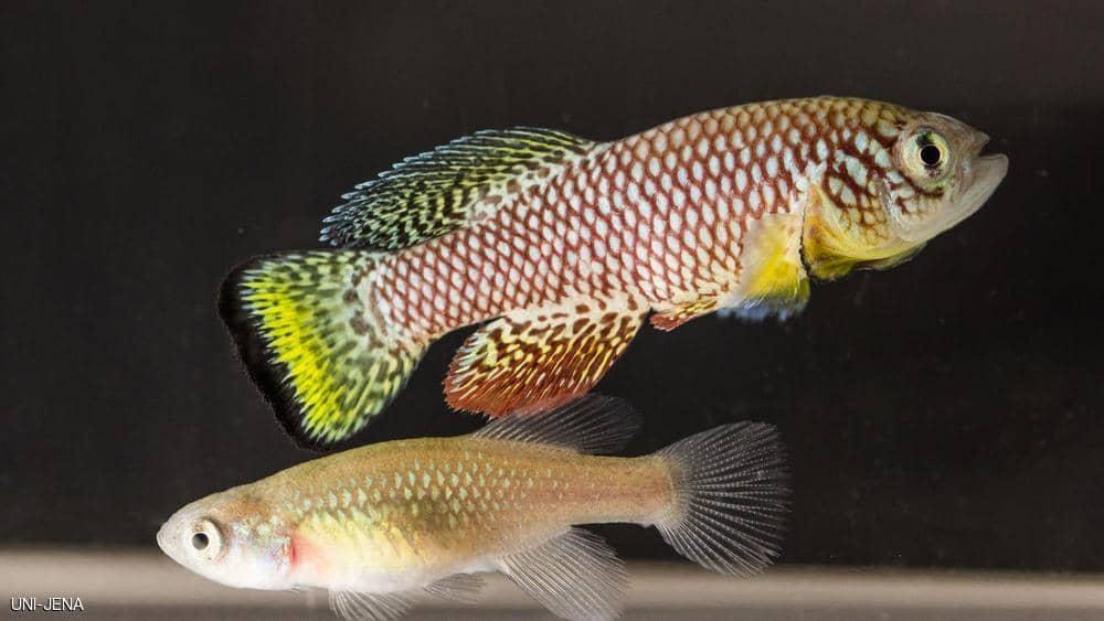 سمكة كيليفيش الأفريقية قد تكون حلا للشيخوخة