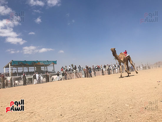 نتيجة سباق الهجن فى اليوم الثانى لمهرجان شرم الشيخ (14)