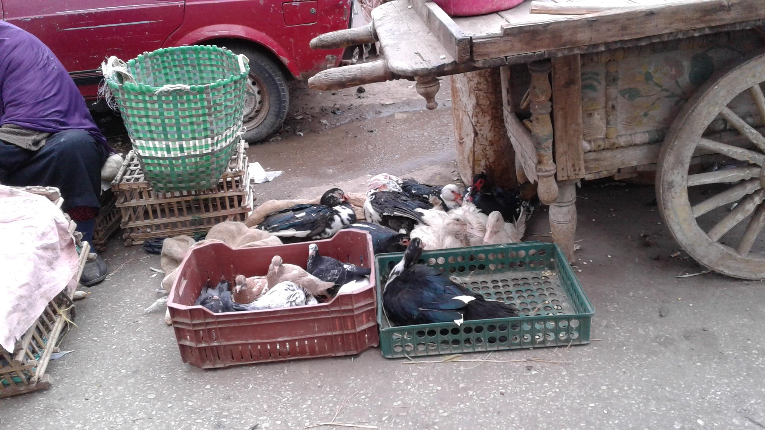 ذبح الطيور خارج المجازر ووسط الشوارع (5)
