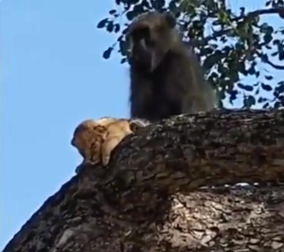 القرد وهو يخطف شبل الاسد