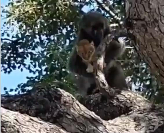 القرد يتسلل بالاسد الصغير