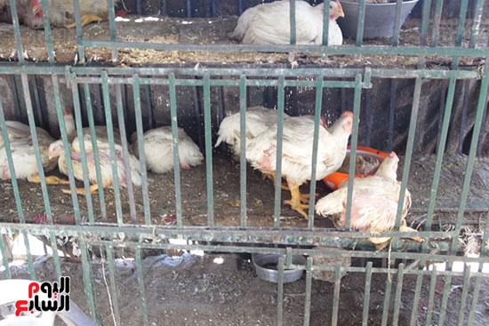 استمرار ذبح الطيور الحية بالمحافظات بالمخالفة للقانون (2)