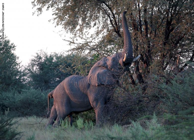 فيل يتناول أوارق من غصن شجرة في دلتا أوكافانجو