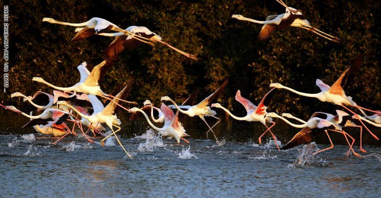 طيور فلامنجو في محمية رأس الخور للحياة البرية في دبي
