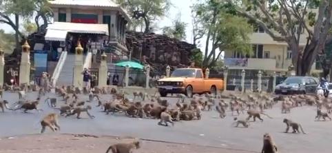 القرود تتصارع فى الشوارع