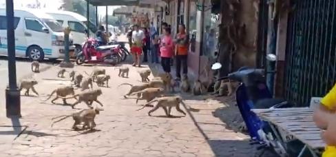 صراع القرود
