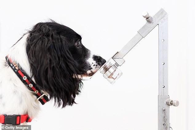 تدريب الكلاب للكشف عن فيروس كورونا