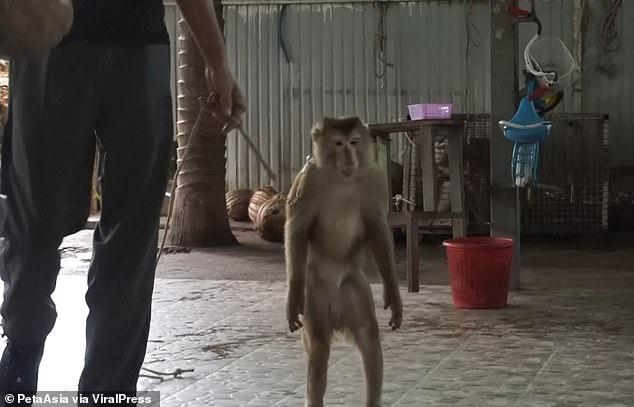 تدريب القرد