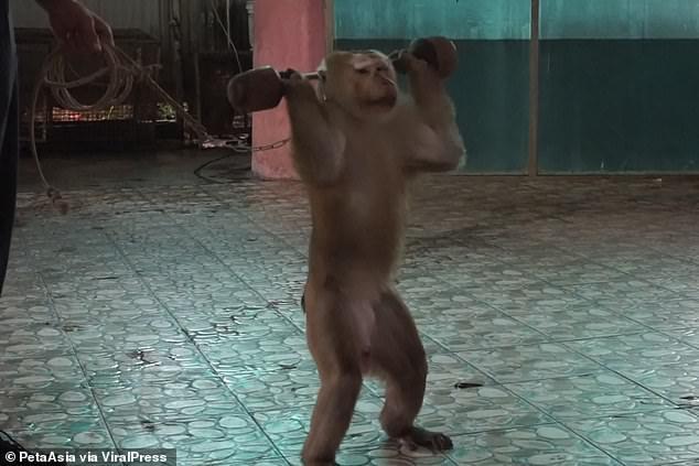 القرد يرفع الاثقال