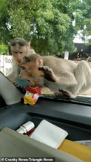 القرود امام السيارة