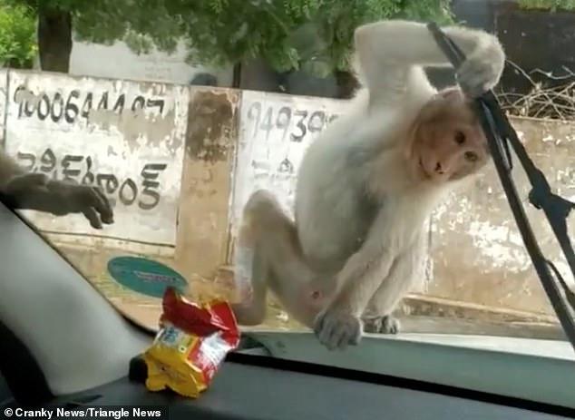 القرود تبحث عن البسكويت