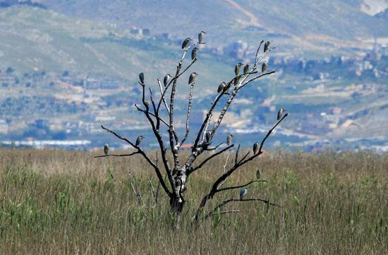 الطيور تحتل شجرة فى لبنان