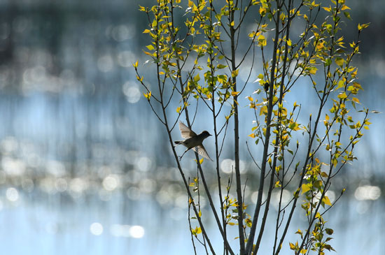 طيور مهاجرة على الاشجار