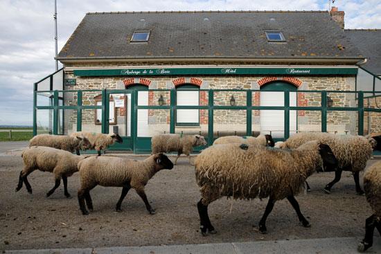 قطيع من الخراف فى أحد أبرز المناطق السياحية فى فرنسا
