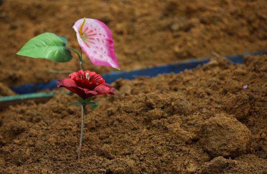 وردة على مقبرة أحد الضحايا