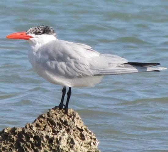 الطيور البحرية تنتشر على شواطئ البحر الأحمر  (1)