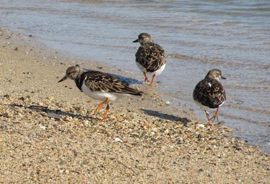 الطيور البحرية تنتشر على شواطئ البحر الأحمر  (6)