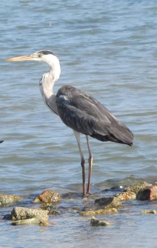 الطيور البحرية تنتشر على شواطئ البحر الأحمر  (5)