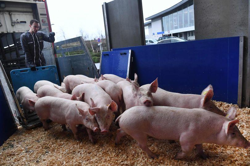 الخنازير