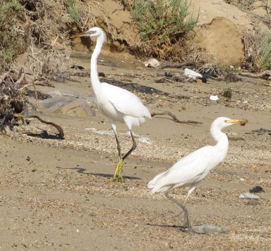 الطيور البحرية تنتشر على شواطئ البحر الأحمر  (7)