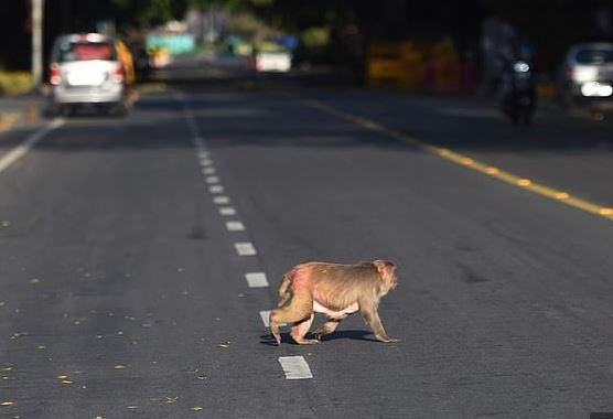 القرود تتجول في شوارع الهند بسبب حظر التجول لمواجهة كورونا (7)