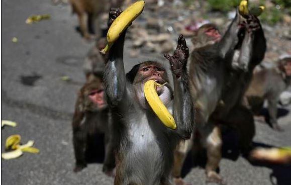 القرود تتجول في شوارع الهند بسبب حظر التجول لمواجهة كورونا (2)