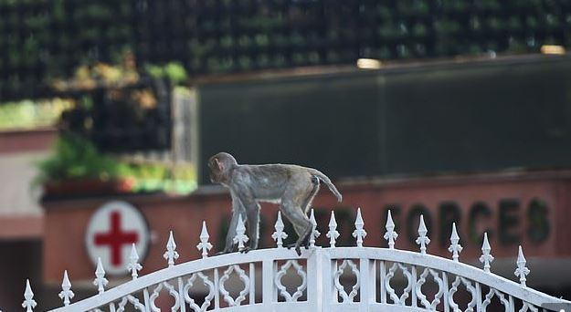 القرود تتجول في شوارع الهند بسبب حظر التجول لمواجهة كورونا (1)