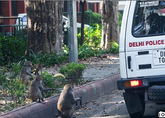 القرود تتجول في شوارع الهند بسبب حظر التجول لمواجهة كورونا (6)