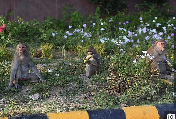 القرود تتجول في شوارع الهند بسبب حظر التجول لمواجهة كورونا (5)