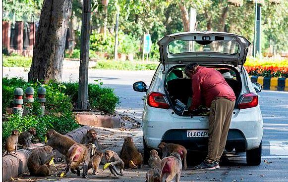 القرود تتجول في شوارع الهند بسبب حظر التجول لمواجهة كورونا (4)