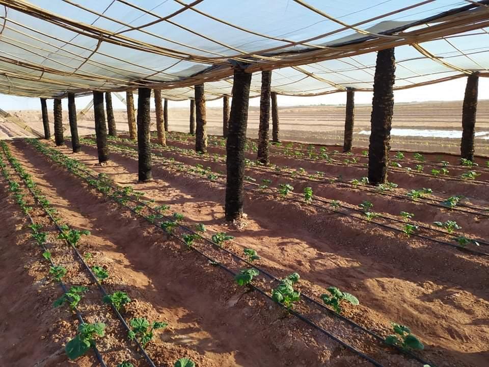 نجاح صناعة الصوب الزراعية من جذوع النخيل الميت بالوادى الجديد (1)