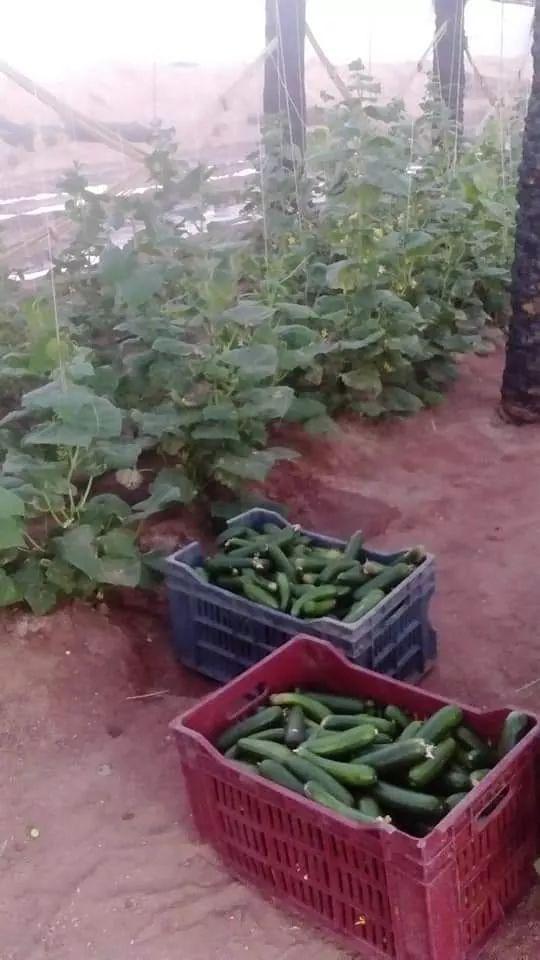 نجاح صناعة الصوب الزراعية من جذوع النخيل الميت بالوادى الجديد (8)