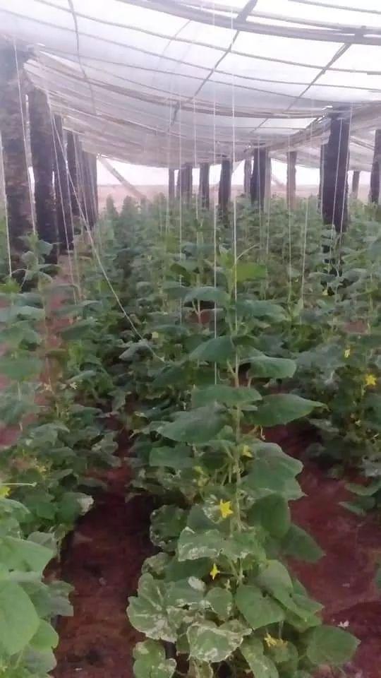 نجاح صناعة الصوب الزراعية من جذوع النخيل الميت بالوادى الجديد (4)