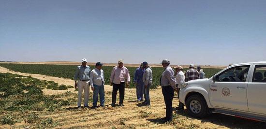 520201316276897-مركز-البحوث-الزراعية--يتابع--حصاد-البنجر-بمشروع-المنيا--(3)