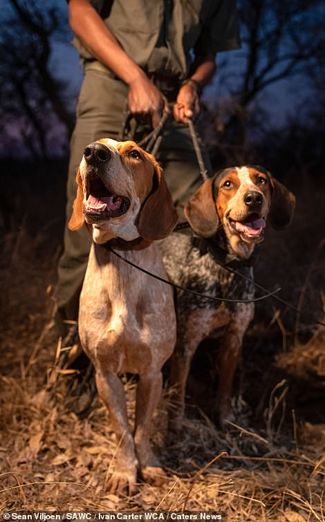 28426890-8322921-The_dogs_are_are_trained_to_benefit_required_counter_poaching_in-a-2_1589542657440