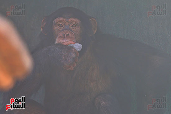 مكعبات ثلج لقرود (3)
