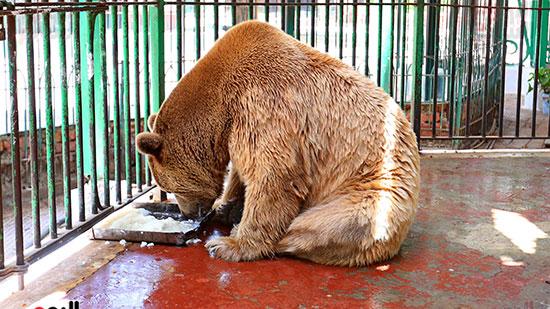 الدب الروسى (4)